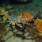An Ornate Rock Lobster (Panulirus ornatus). Fly Point, Port Stephens, NSW